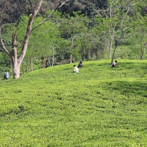 new tea growing areas